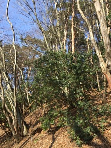 コウベエ矢塚山頂直下の自然林.jpg