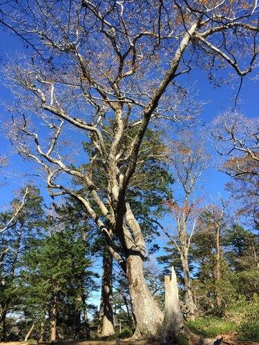 ブナの巨木.jpg