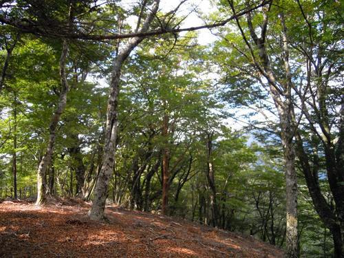 優しい樹林帯の蛇崩山の頂き(木の間に笠捨山の台形が見える).jpg