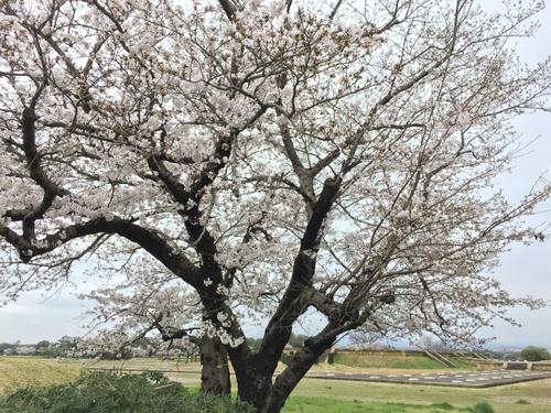 平城宮跡のサクラ(東側).JPG