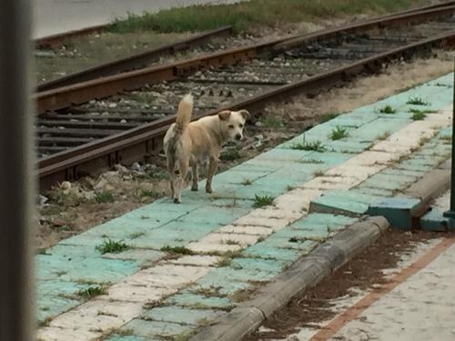 振り返る犬(洛陽含嘉倉脇の旧線路にて).JPG