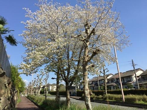 街路樹の間で満開のヤマザクラ.jpg