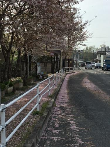 バス停に散り敷くサクラ1.JPG