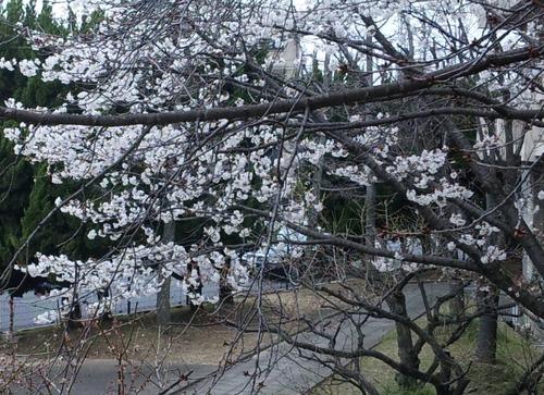 毎年最初に咲くサクラ.jpg